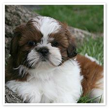 shih_tzu_puppy2